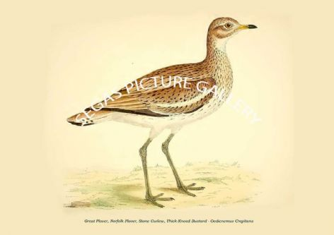 Fine art print of the Great Plover, Norfolk Plover, Stone Curlew, Thick-Kneed Bustard - Oedicnemus Crepitans by Beverley Robinson Morris (1855)